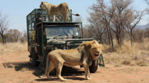 The 'lion mobile' experience offered at Marakele Predator Park. Source: Facebook/@marakeleanimalsanctuary