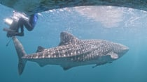 The Whale Sharks of Donsol
