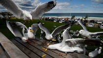 Rethink the fish and chips: Seagulls could be spreading potentially deadly superbugs
