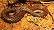 The man reportedly died after being bitten by a western brown snake.