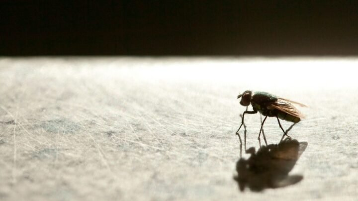 There's a reason why flies are so much harder to catch, and it's all to do with their hindwings. Source: Getty.