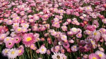 During the months of June to November wildflowers spring to life across Western Australia. Source: Getty