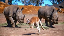 Two White Rhinos at Dubbo's Western Plains Zoo eye off a kangaroo as it hops away. Source: Getty Images