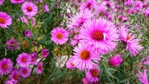 The gorgeous New England aster, also known as Easter Daisies. Source: Getty
