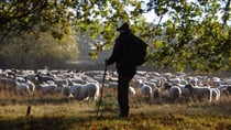 A shepherd looks out over his flock. Source: Getty Images