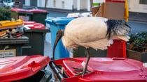 Birds scavenging through bins can be a nightmare, but one Aussie has come up with an ingenious solution. Source: Getty
